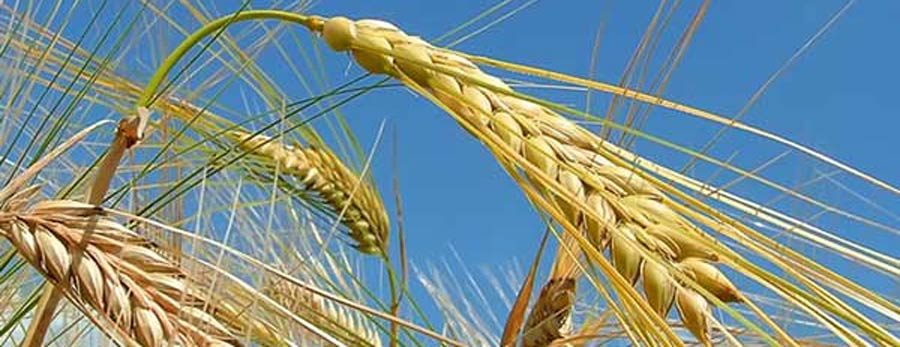 bp-wheat-mature-widev2