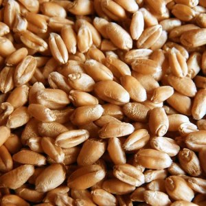 bp-wheat-seeds